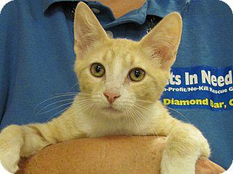 Domestic Shorthair Kitten for adoption in Diamond Bar, California - SEBASTIAN