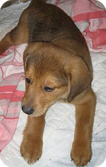 German Shepherd Dog/Beagle Mix Puppy for adoption in Prole, Iowa - Wyatt