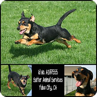 Dachshund Mix Dog for adoption in Yuba City, California - 11/05 Rico