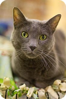 Domestic Shorthair Cat for adoption in Grayslake, Illinois - Frankie
