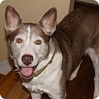 Siberian Husky Dog for adoption in Holly Springs, North Carolina - Margot Irene