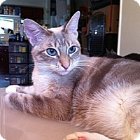 Domestic Shorthair Cat for adoption in Long Beach, California - Eve
