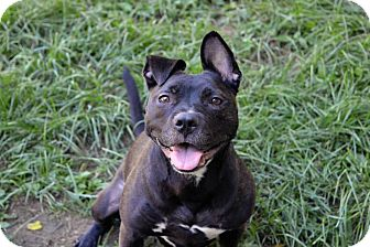 American Pit Bull Terrier Mix Dog for adoption in New York, New York - Sasha