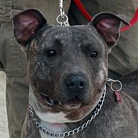 Adopt A Pet :: Bandit - Palmdale, CA