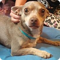 Adopt A Pet :: Delilah Blue - Topeka, KS