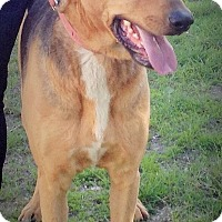 German Shepherd Dog/Doberman Pinscher Mix Dog for adoption in Santa Ana, California - Spike