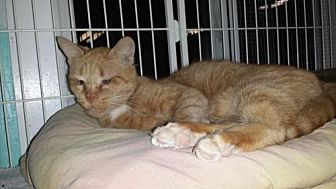 Domestic Shorthair Cat for adoption in Iroquois, Illinois - Tommy