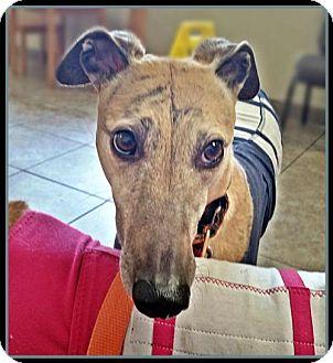 Greyhound Dog for adoption in Geneva, Ohio - Jilly Bean