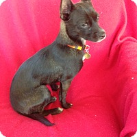Adopt A Pet :: Whitney - Studio City, CA