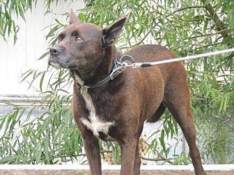 Labrador Retriever Mix Dog for adoption in richmond, Virginia - CHEEKA