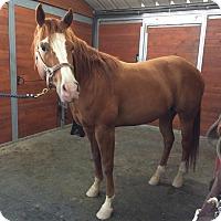 Quarterhorse Mix for adoption in Santa R0sa, California - Nemo