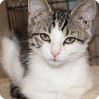 Domestic Shorthair Kitten for adoption in Newport, Kentucky - Kelly Kitty