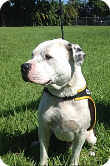 American Staffordshire Terrier/Pit Bull Terrier Mix Dog for adoption in Pompano Beach, Florida - Axel
