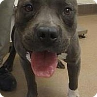 Adopt A Pet :: Bruno - Las Vegas, NV