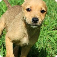 Adopt A Pet :: Apollo - Glastonbury, CT