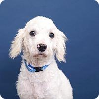 Adopt A Pet :: Winston - Sudbury, MA
