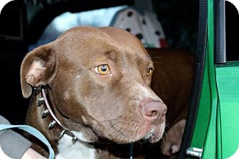 Pit Bull Terrier Dog for adoption in Fulton, Missouri - Roly-Poly Polly: TN, will transport