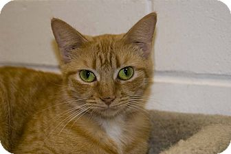 Domestic Shorthair Cat for adoption in New Port Richey, Florida - ChaCha