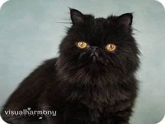 Persian Cat for adoption in Phoenix, Arizona - Izabelle