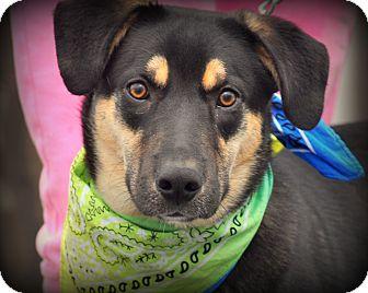 German Shepherd Dog/Labrador Retriever Mix Dog for adoption in Sparta, New Jersey - West