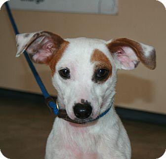 bliss adopted dog san antonio tx dachshundjack