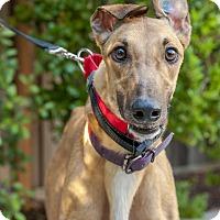 Adopt A Pet :: Conman - Walnut Creek, CA