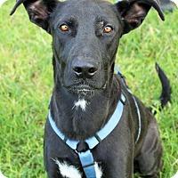 Adopt A Pet :: Glock - Phoenix, AZ