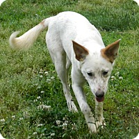 Adopt A Pet :: Suzy Q - Allentown, PA