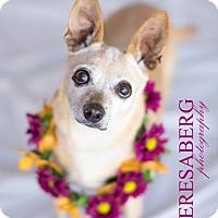 Adopt A Pet :: Miss Trixie - McKinney, TX