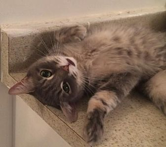 Domestic Shorthair Cat for adoption in Montreal, Quebec - Charlotte