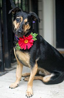 Shepherd (Unknown Type) Mix Dog for adoption in Baton Rouge, Louisiana - Holly GoLightly
