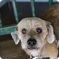 Adopt A Pet :: Sweetie - San Antonio, TX