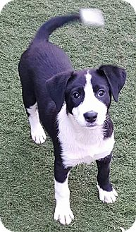 Border Collie Puppy for adoption in Highland, Illinois - Dolly's Puppy #2-Willa