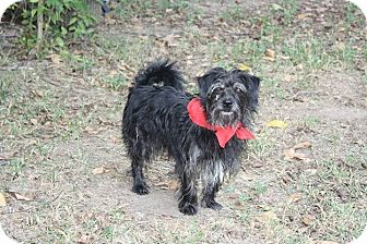 Cairn Terrier/Schnauzer (Miniature) Mix Dog for adoption in Jennings, Oklahoma - Buddy