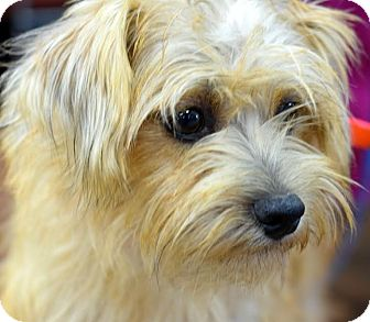Cairn Terrier Mix Dog for adoption in Memphis, Tennessee - Teddy