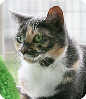 Domestic Shorthair Cat for adoption in North Fort Myers, Florida - Jazzy