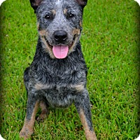 Blue Heeler Mix Dog for adoption in Beaumont, Texas - Maximus