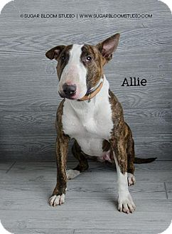 Bull Terrier Dog for adoption in Denver, Colorado - Allie