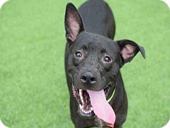 Labrador Retriever Mix Dog for adoption in Atlanta, Georgia - HOLLYFIELD