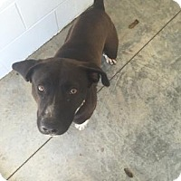Pit Bull Terrier Mix Dog for adoption in Paducah, Kentucky - Houser