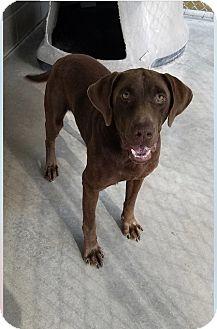 Labrador Retriever Dog for adoption in Cumming, Georgia - Adam