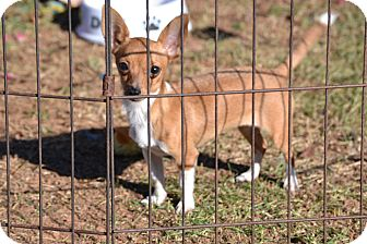 Chihuahua Mix Puppy for adoption in Springfield, Virginia - Buttercup