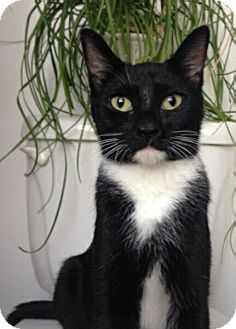 Domestic Shorthair Cat for adoption in Reston, Virginia - Milano