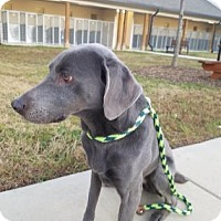 Weimaraner Mix Dog for adoption in Cumming, Georgia - Spirit