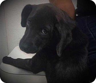 Labrador Retriever/Chow Chow Mix Puppy for adoption in Allen, Texas - Tiny Dowdy