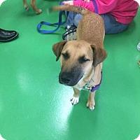Adopt A Pet :: Cher - St Louis, MO