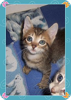 Domestic Shorthair Kitten for adoption in South Plainfield, New Jersey - Tiny Girl