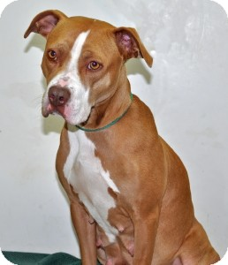 Pit Bull Terrier Dog for adoption in Port Washington, New York - Coco