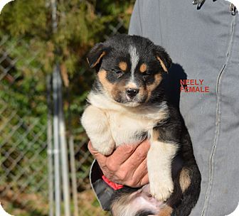 Neely Adopted Puppy Sparta Nj Akita Rottweiler Mix