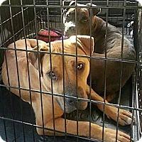 Adopt A Pet :: Sasha - Charlotte, NC